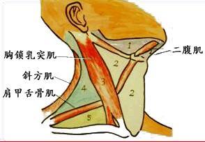 胸锁乳突肌、斜方肌皮瓣移植手术介绍78-烧汤伤疤痕图片-中国疤痕论坛